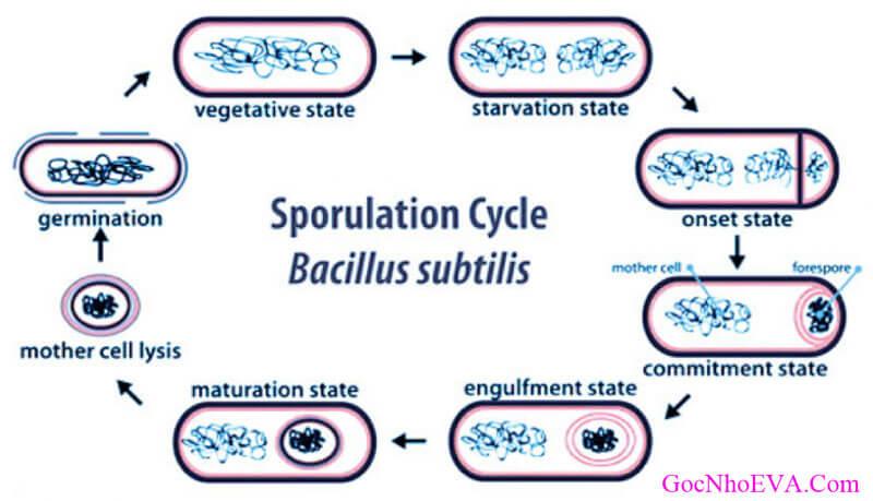 Thành phần bào tử lợi khuẩn