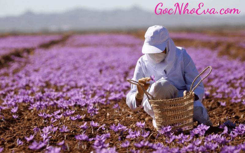 cách trồng hoa nghệ tây