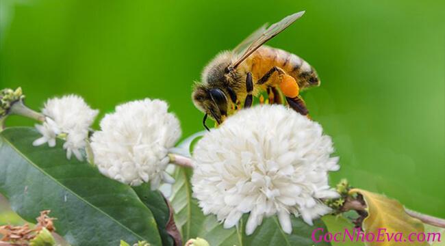 mật ong hoa cà phê Bảo Hân